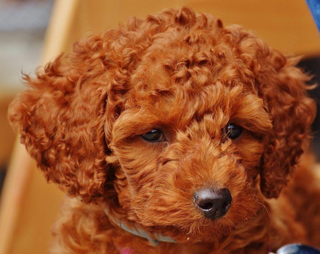Caniche Toy Historia Cuidados Caracteristicas Y Tamano Del Poodle
