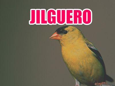 pájaro jilguero