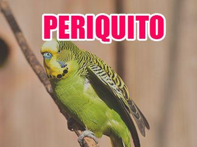 pájaro periquito