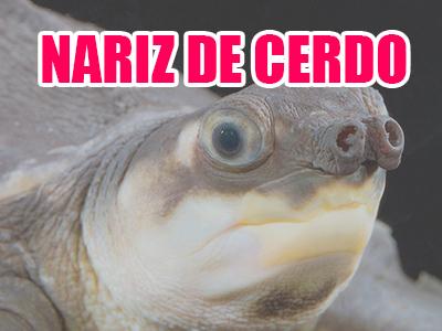 tortuga nariz de cerdo