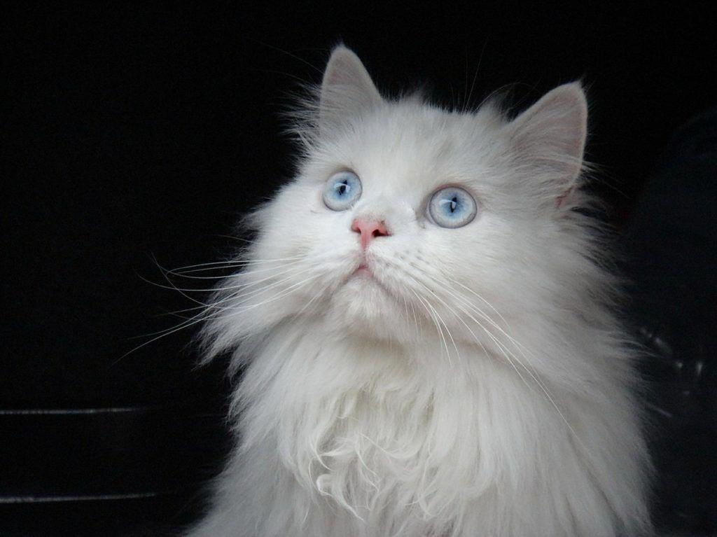 Gato Persa Temperamento Características Comportamiento Origen