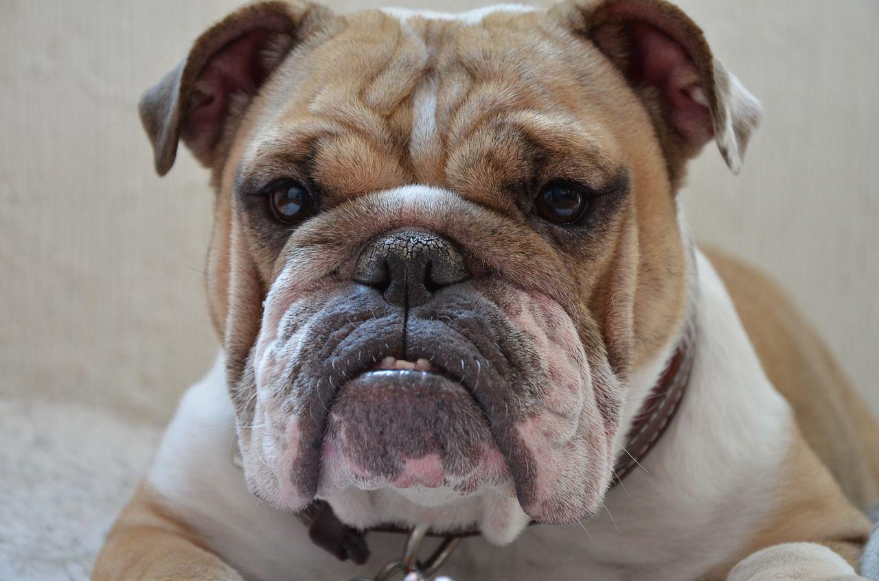 Cuáles son los perros más feos del mundo