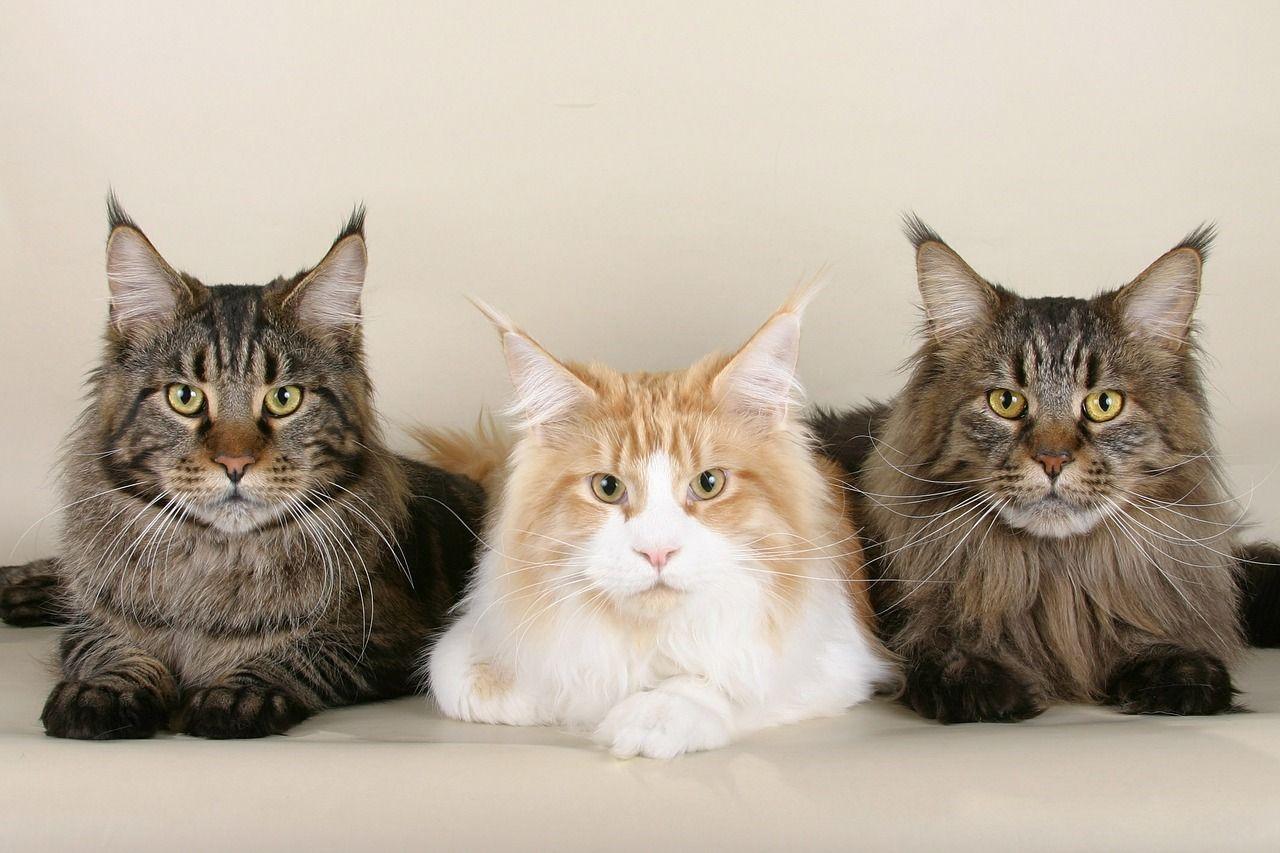 Cuáles son las razas de gatos más cariñosas que se conocen