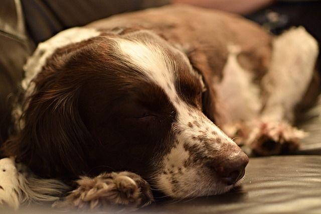 mi perro tiembla cuando duerme