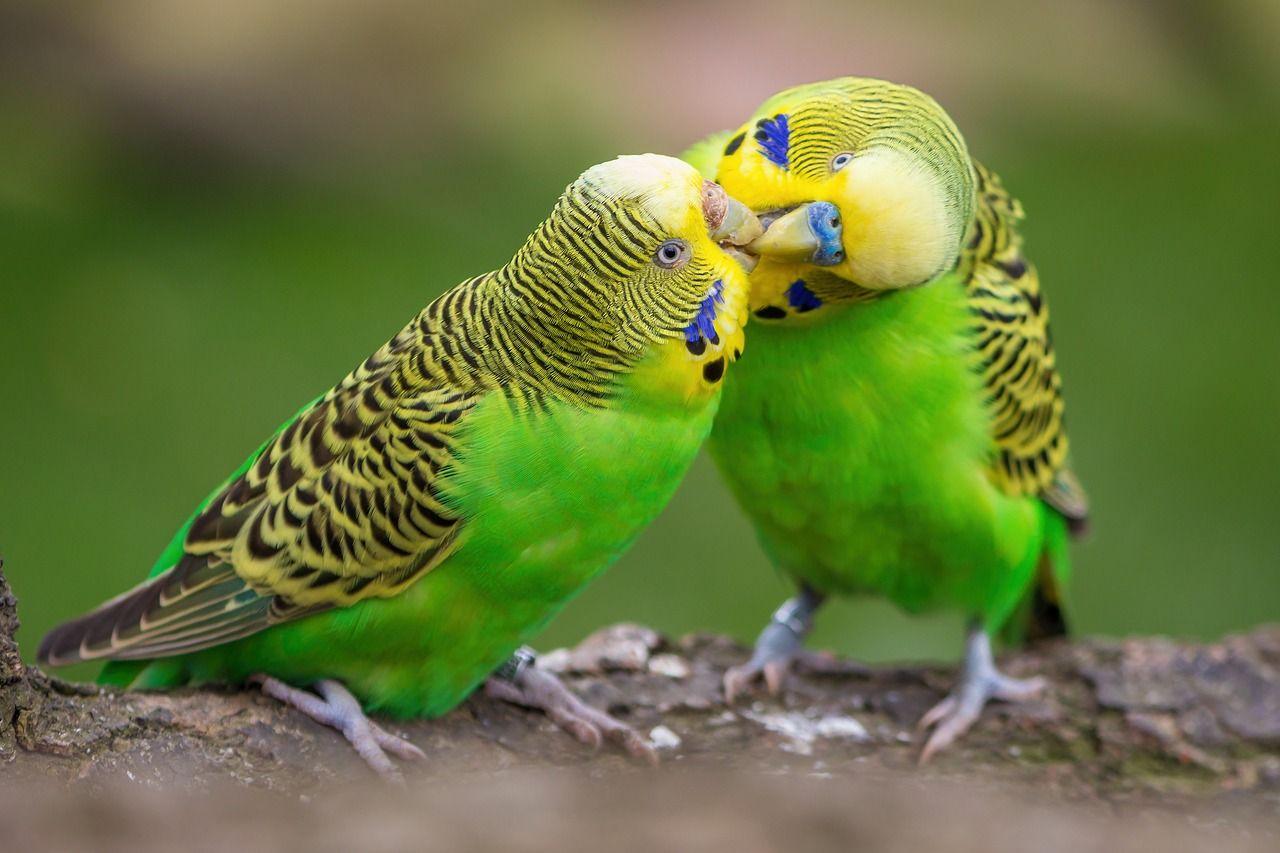 Criar periquitos: 5 consejos para su reproducción en cautividad