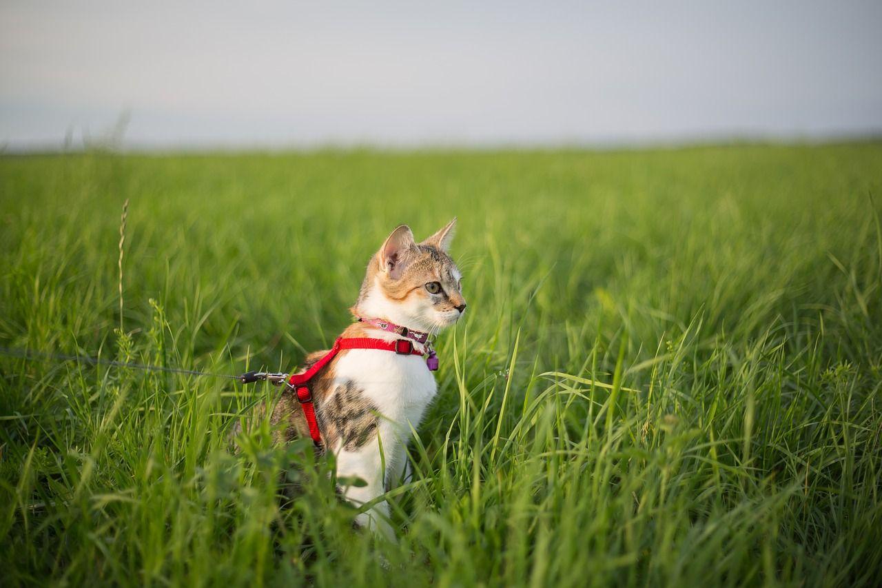 Pasear un gato: ¿realmente necesitan los felinos salir con sus dueños?
