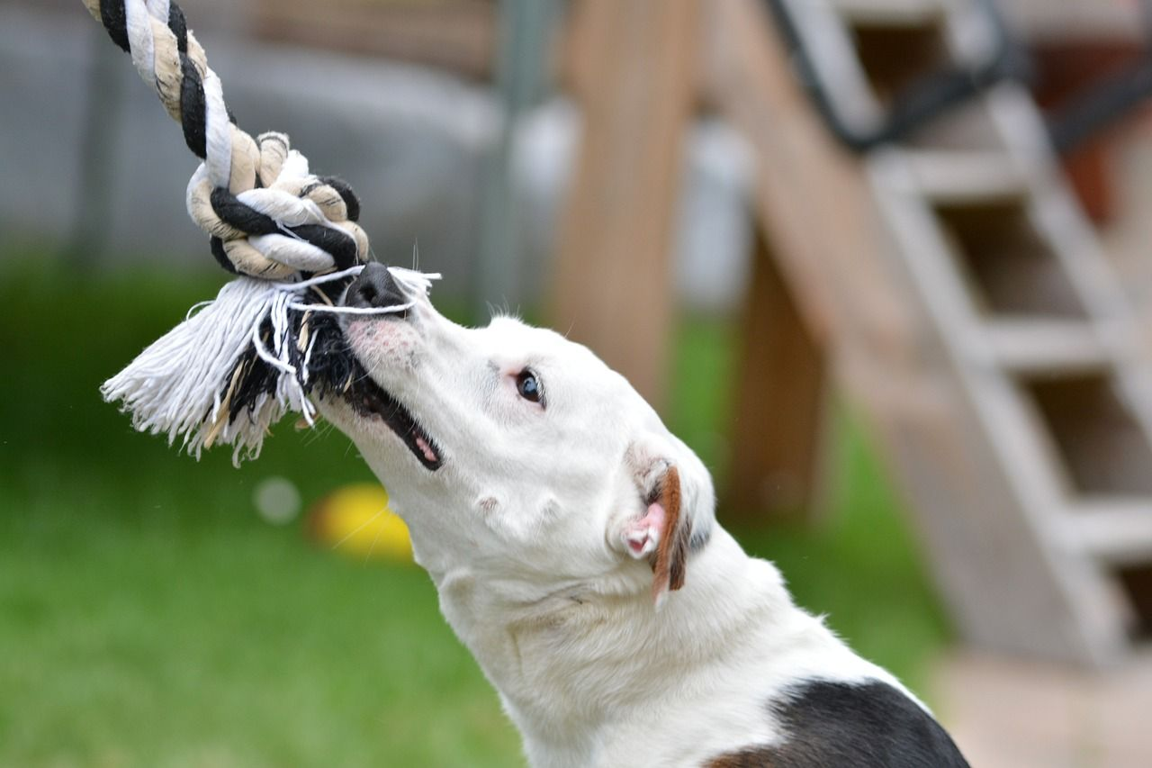 Mi perro muerde la correa al pasear: causas y soluciones