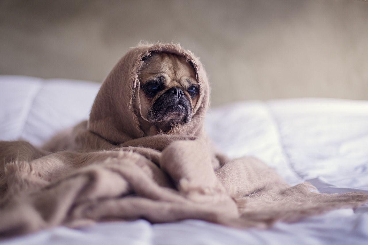 Cómo saber si un perro tiene fiebre: síntomas y cómo actuar