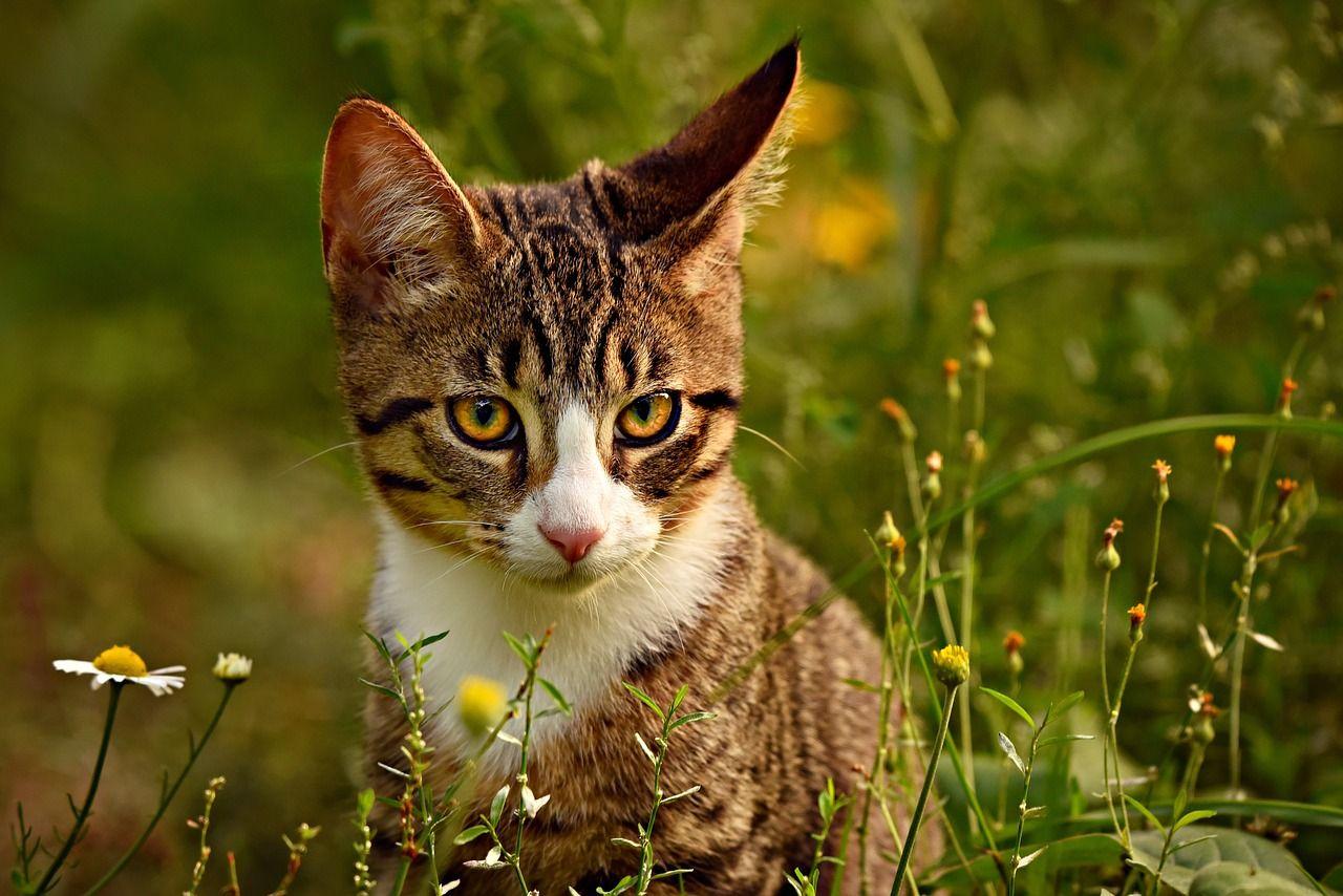Cómo interpretar lo que las orejas de gato expresan