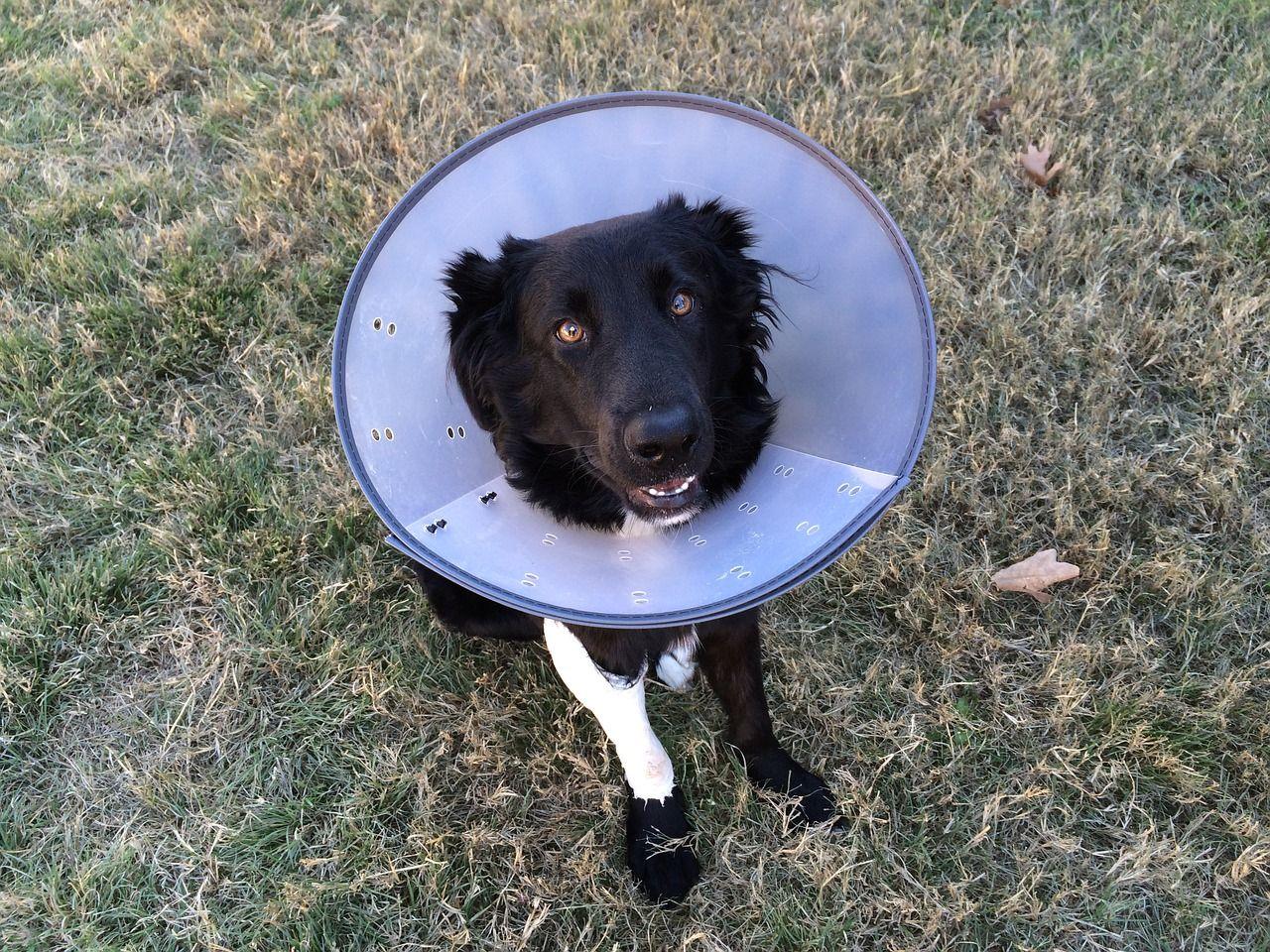 Collar isabelino de perro: consejos y principales alternativas