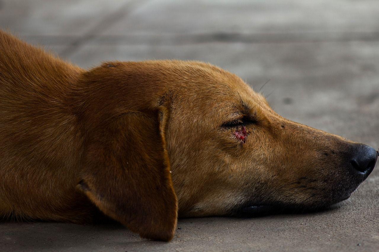 Cómo curar una herida a un perro sin tener que ir al veterinario