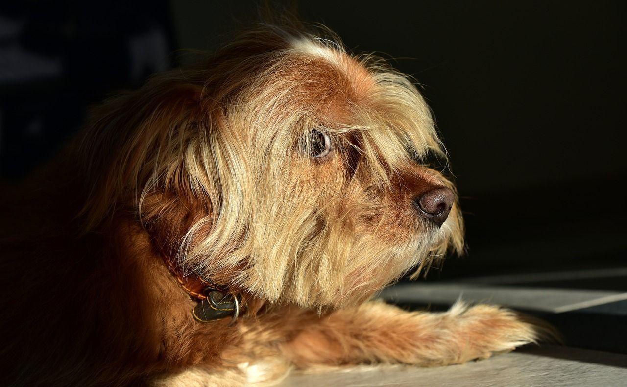 Alopecia en perros: qué es y cómo prevenir o tratar este problema