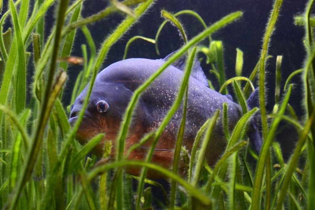 Piraña en estanque