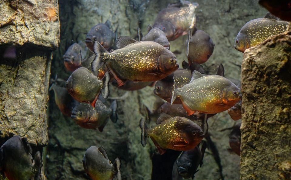 Grupo de pirañas
