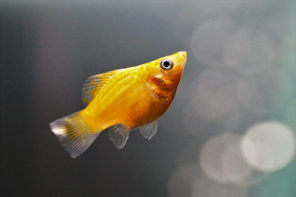 molly balon pez