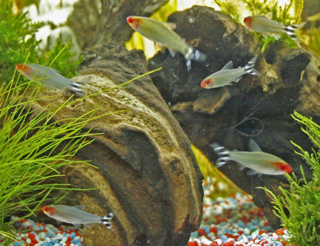 peces borrachito