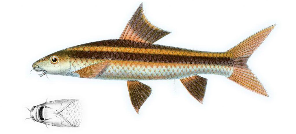 pez zorro volador
