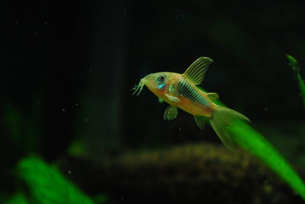 corydora acuario