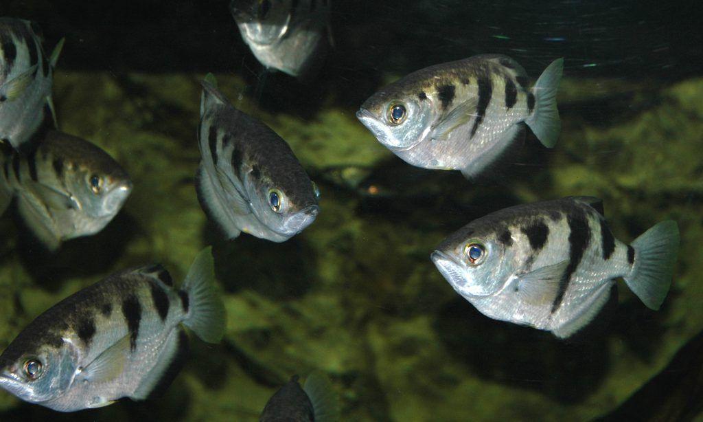 peces arquero