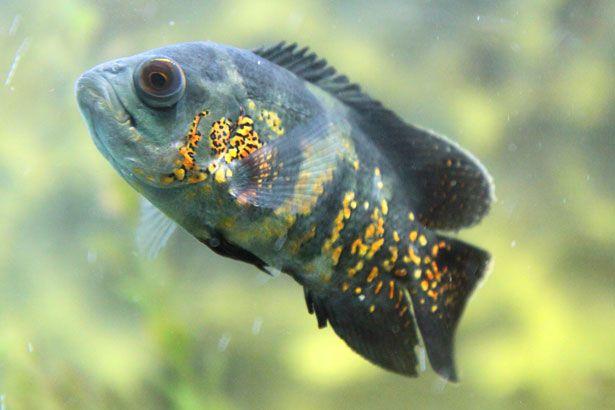 peces oscar