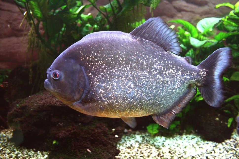 peces pacu