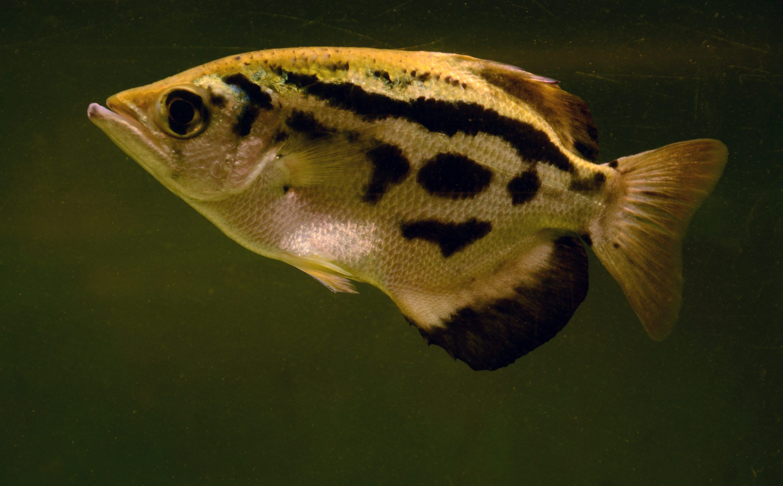 pez arquero acuario