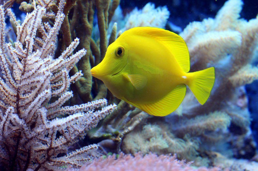 pez cirujano amarillo