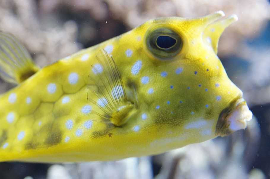 pez cofre