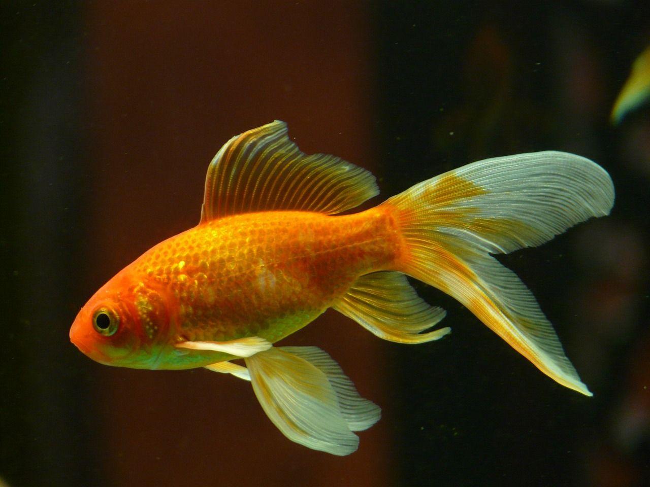 pez dorado acuario