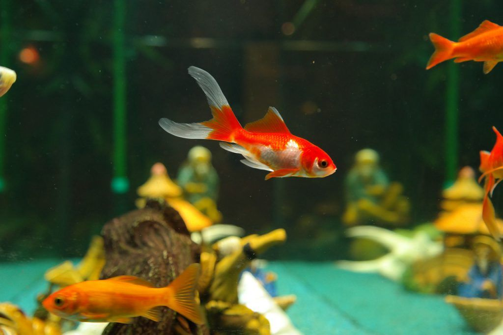 pez dorado bicolor