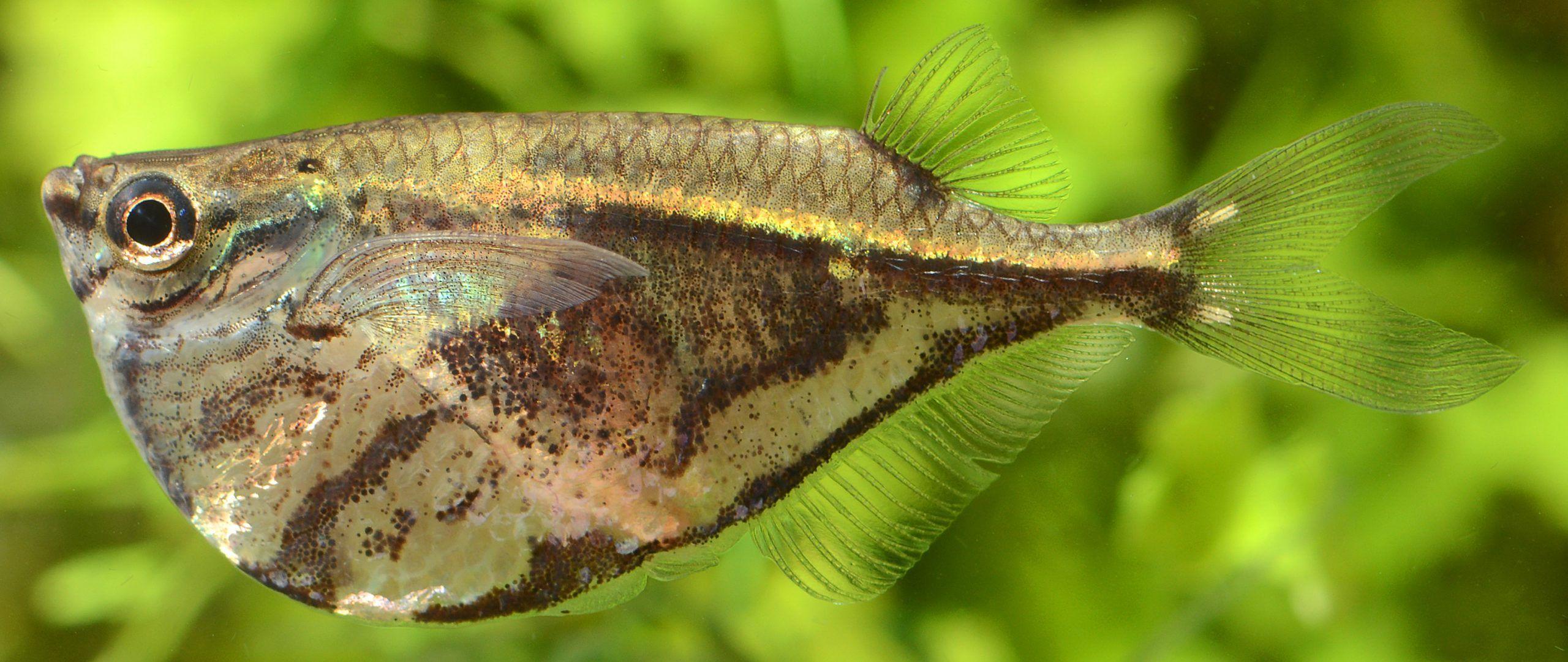 pez hacha marmol