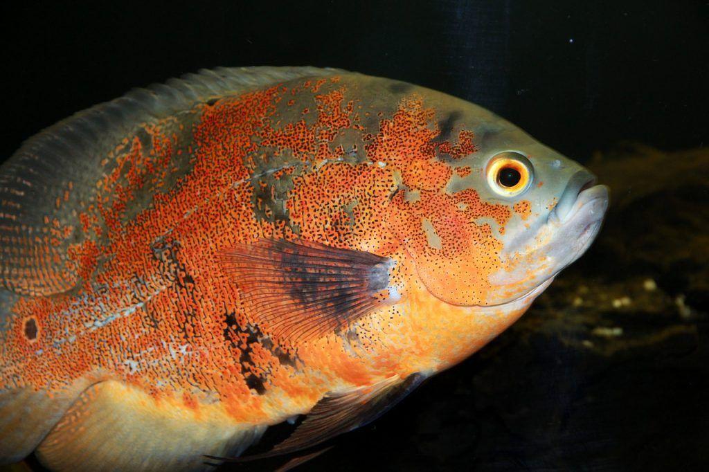 pez oscar rojo