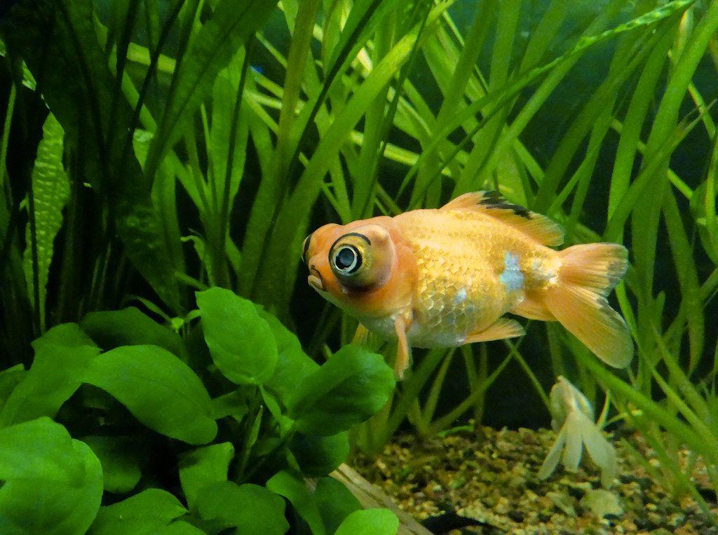 telescopio ojos pez