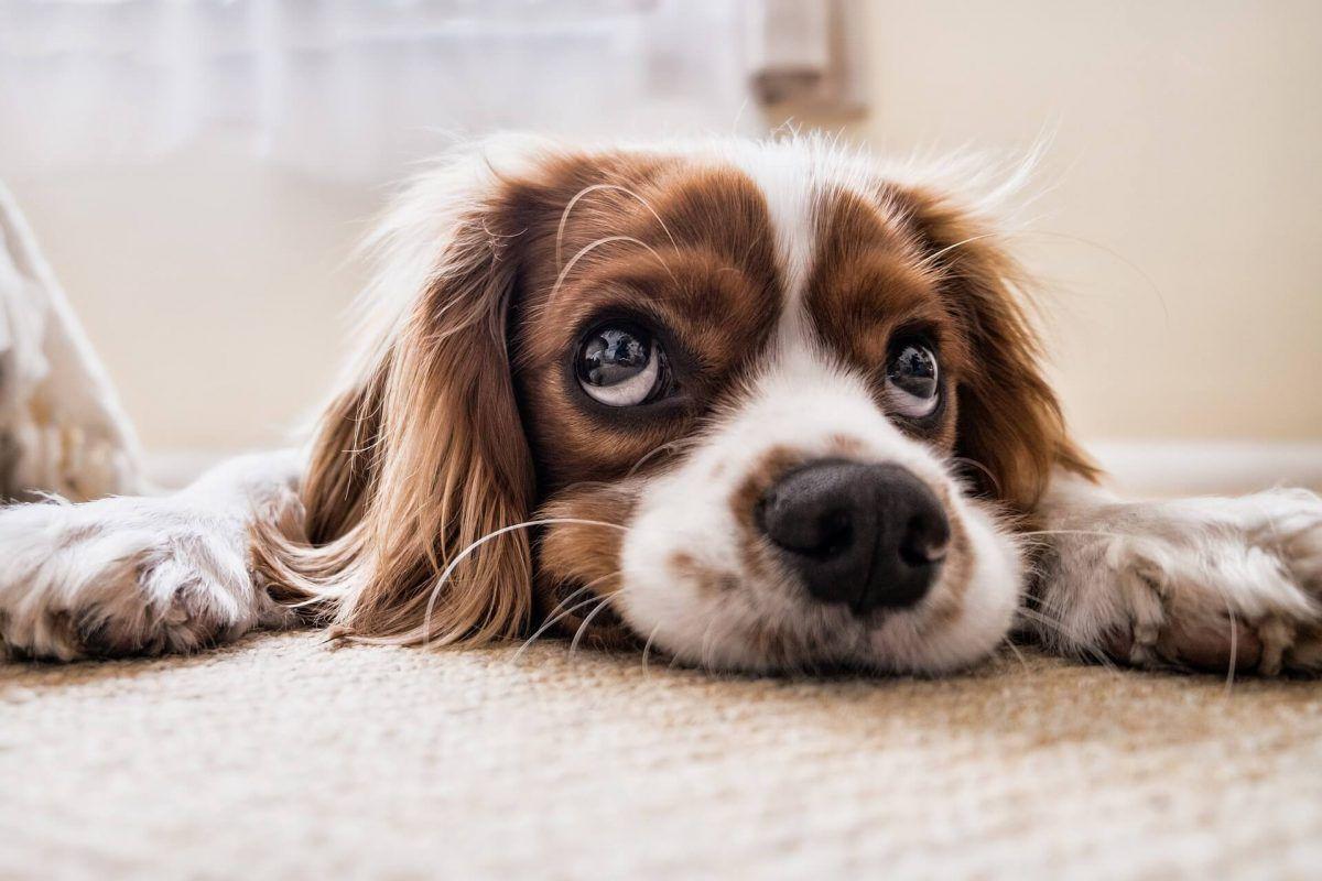 Enfermedades de perros para las cuales no se han desarrollado vacunas