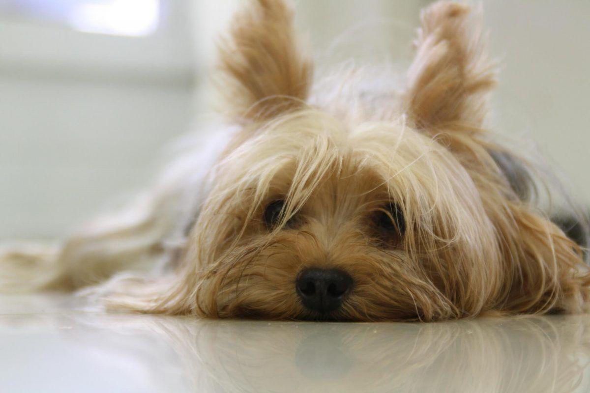 Enfermedades del corazón en perros: causas y hechos