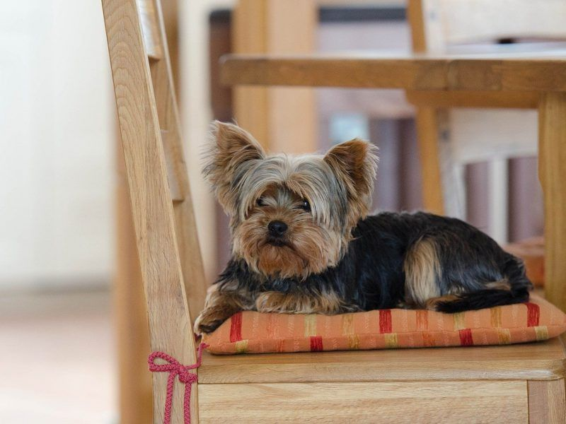Los 21 perros ideales para apartamentos o pisos pequeños