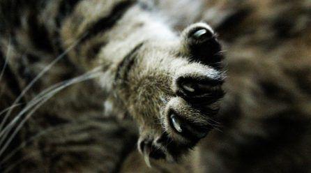 ¿Cómo cortar las uñas a un gato?