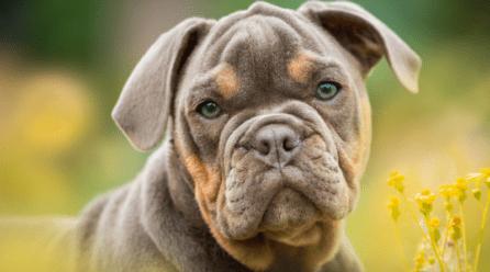 Bulldog Inglés cachorro
