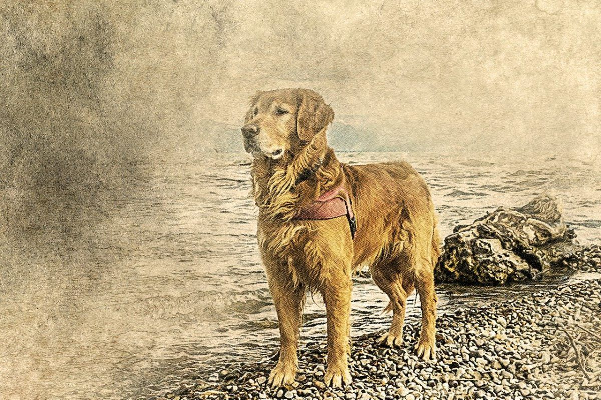 La historia del Golden Retriever