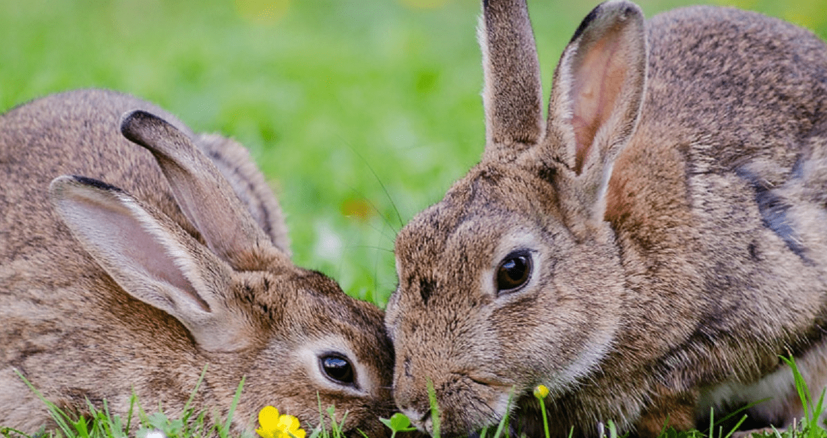 ¿Puedo castrar a mi conejo?