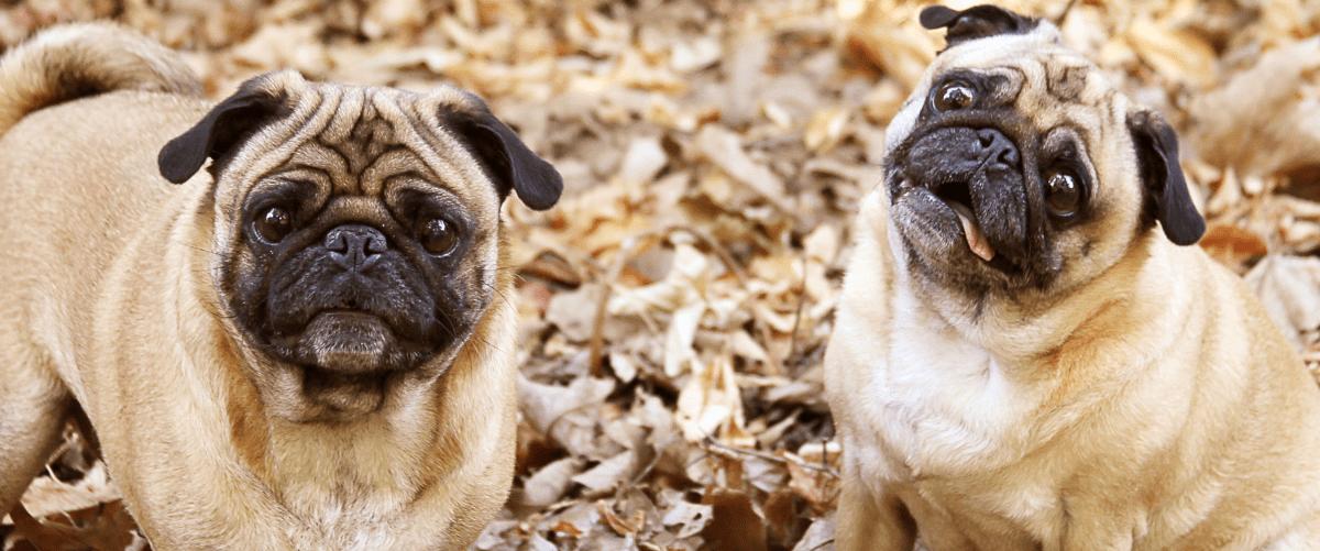Las fotos más tiernas y divertidas de Pugs