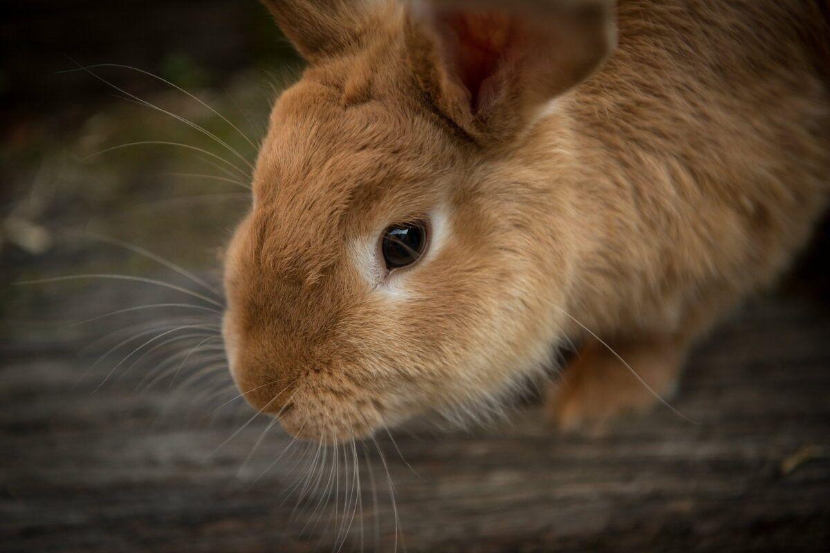 Cuánto vive un conejo
