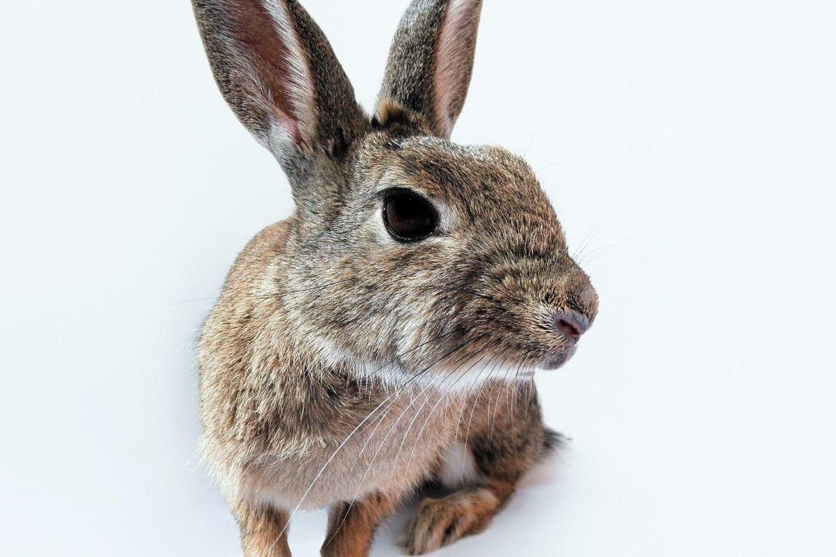 Enfermedades de los conejos en los ojos