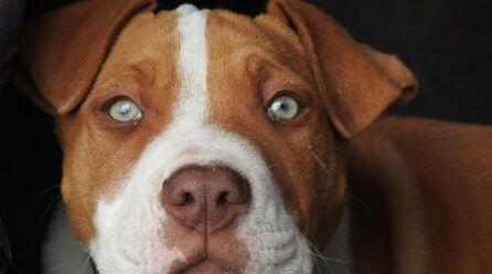 Imágenes de perros Pitbull
