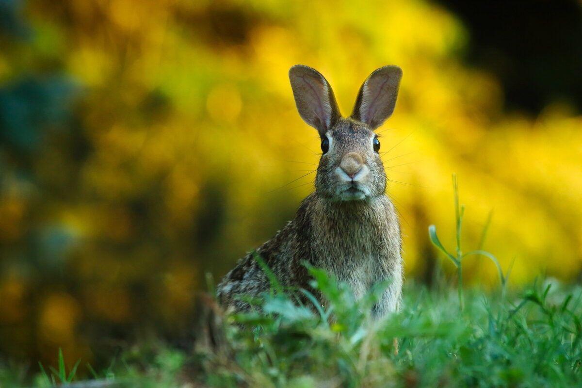 Nombre para conejos machos