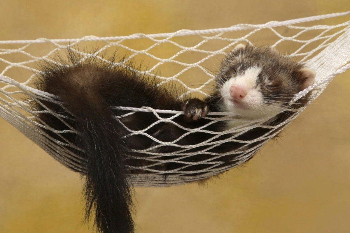 Hurón doméstico | ¿mascota perfecta para tener en casa?