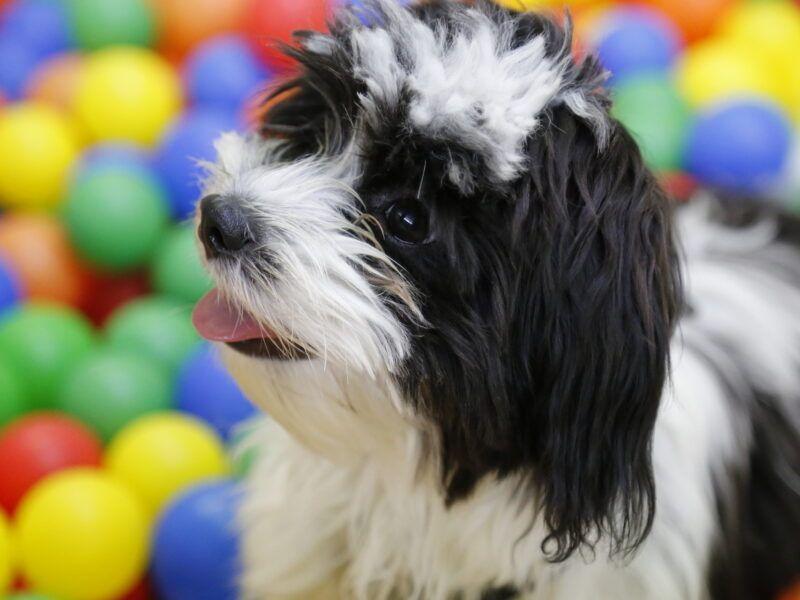 Como eliminar las pulgas en perros