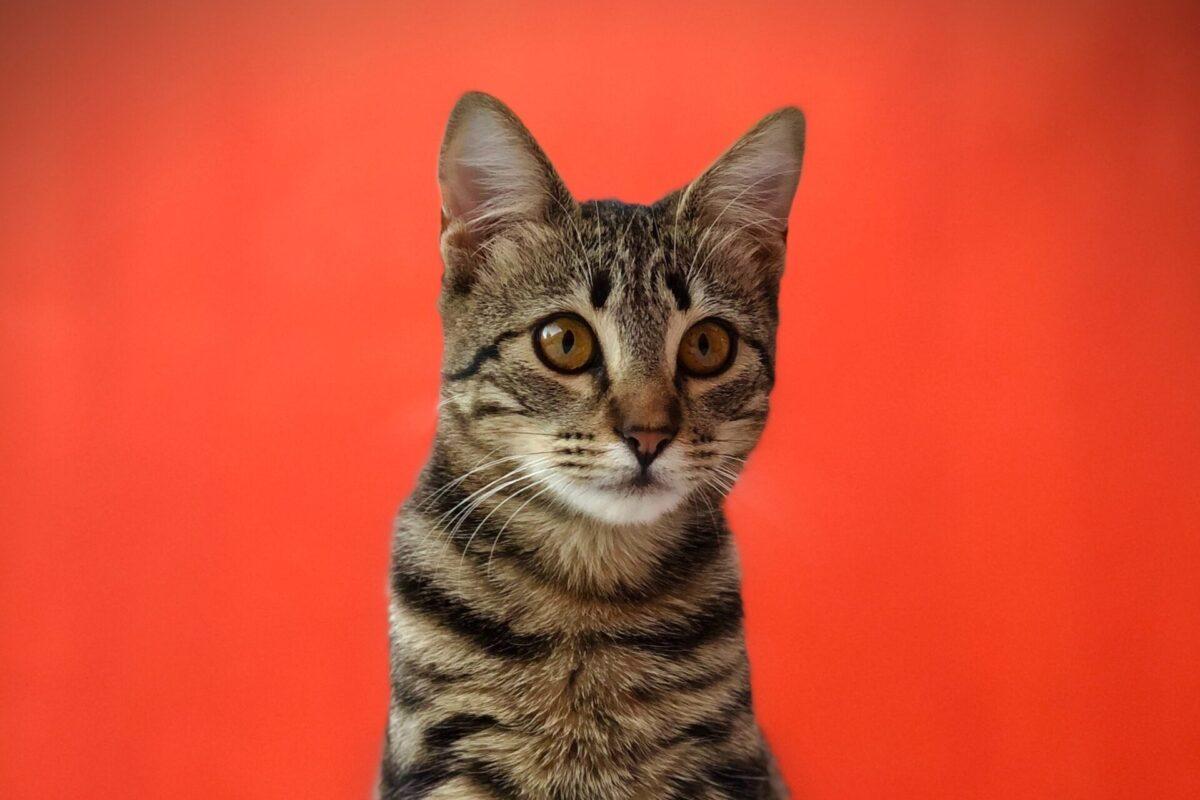 Nombres para gatos atigrados