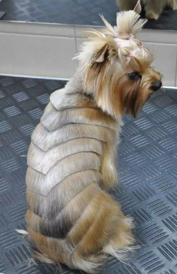 peniados para yorkshire terrier