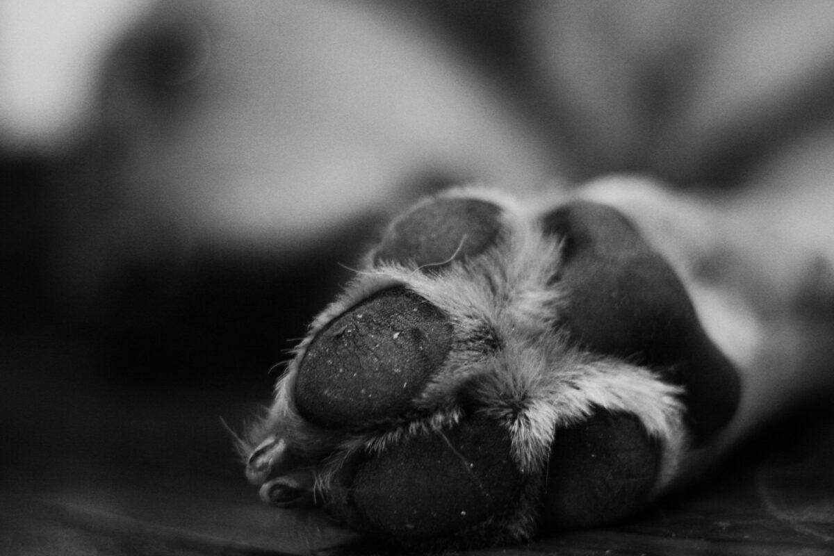 Cómo desinfectar las patas de mi perro